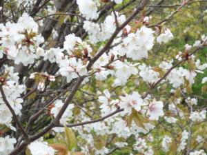 4月20日、山桜・東京目黒区