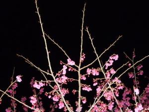 150312_緋寒桜