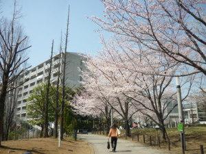 150330_朝桜