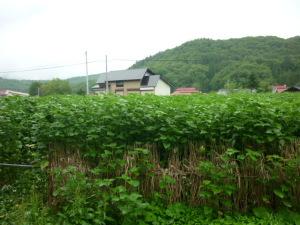 150718_奥会津/からむし畑(大芦)