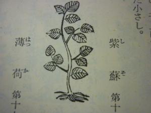 151211_紫蘇