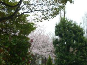 160402_目黒区の桜