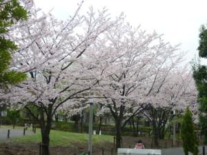 160403_桜