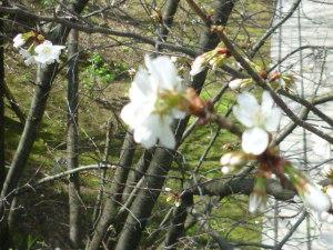 160409_山桜