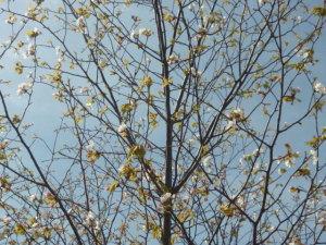 160418_山桜