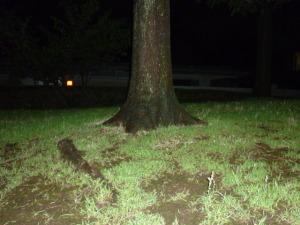 160715_桜の木の根